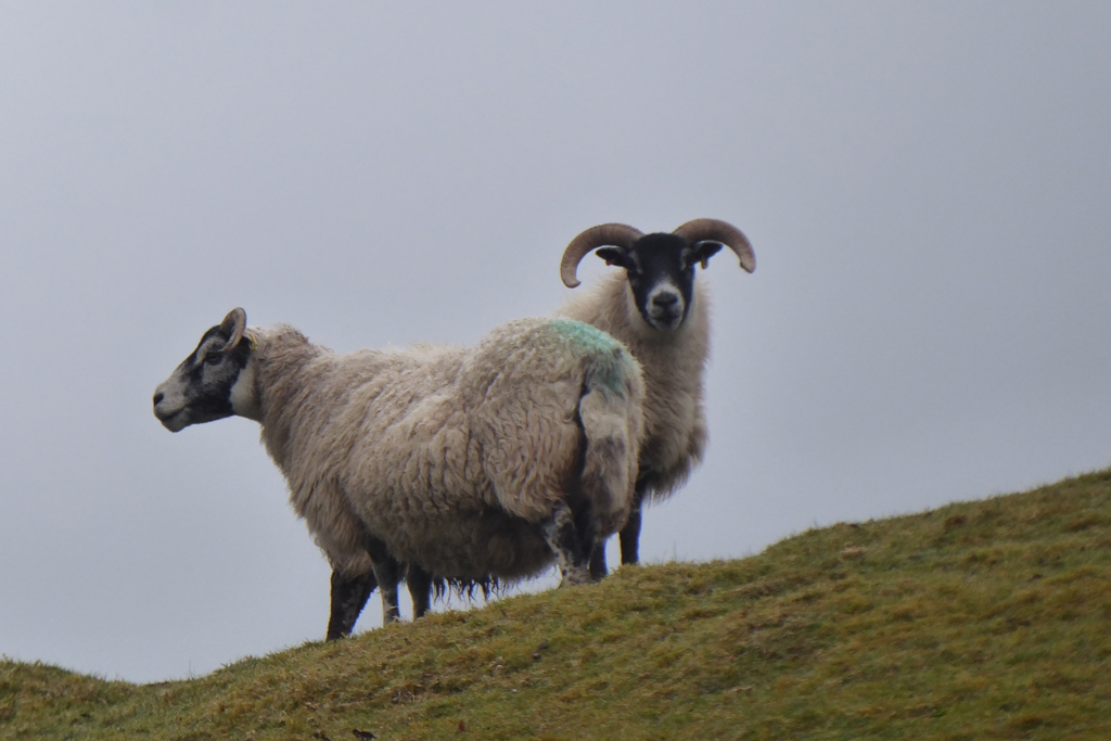 Sheep on the West Highland Trail